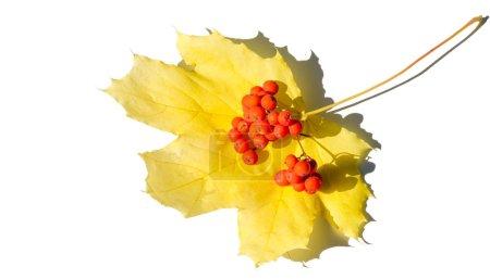 Photo pour Feuilles d'érable rouges et jaunes sur un fond blanc. Lorsque les feuilles changent de couleur du vert au jaune, orange vif ou rouge, vous apprendrez que les arbres commencent leur long repos d'hiver. - image libre de droit