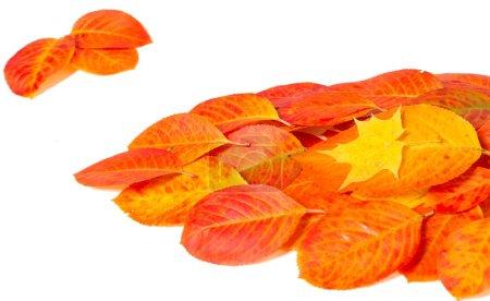 Photo pour Texture, fond, motif, feuilles d'automne, couleurs saturées lumineuses, les arbres sont incroyablement beaux en automne, la nature dit au revoir aux chaudes journées d'été - image libre de droit