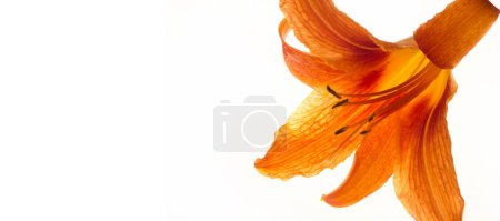 Photo pour Lilies Lilium - Les fleurs sont grosses, souvent parfumées, et sont présentées dans une grande variété de couleurs, y compris le blanc, le jaune, les oranges, le rose, le rouge et le pourpre. Le marquage comprend des taches et des traits au pinceau. - image libre de droit