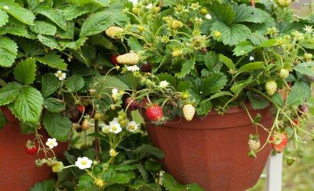 Photo pour Fleurs à planter en pleine terre. Cultiver des fleurs dans un sol fermé - image libre de droit