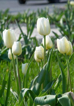 Photo pour Tulipes Les tulipes forment un genre de géophytes herbacés bulbifères vivaces à floraison printanière ayant des bulbes comme organes de stockage. voyante et de couleur vive, généralement rouge, rose, jaune ou blanche - image libre de droit