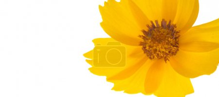 Photo pour Fleur du lit de la fleur, le Cosmos jaune est un genre, portant le même nom commun de cosmos, constitué de plantes à fleurs de la famille du tournesol. - image libre de droit