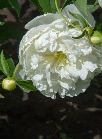 Photo pour Pivoines une plante herbacée ou arbustive des régions tempérées du nord, qui a longtemps été cultivée pour ses fleurs voyantes . - image libre de droit