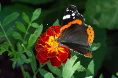 """Постер, картина, фотообои """"Ванесса Аталанта, красная поклонница, или, как ее еще называют, красная поклонница, - типичная бабочка среднего размера с черными крыльями, оранжевыми полосами и белыми пятнами. Он имеет размах крыльев около 2 дюймов"""""""