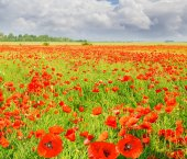 Field with the flowering poppies against the sky