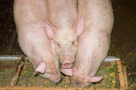 Photo pour Trois blancs porcelets qui mangent de creux dans une porcherie - image libre de droit