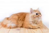 """Постер, картина, фотообои """"Имбирная кошка лежит на деревянной поверхности и смотрит вперед"""""""