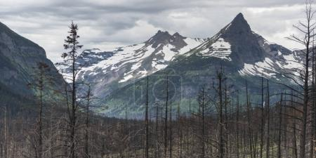 Burnt trees with snowcapped mountain in the background, Glacier National Park, Glacier County, Montana, USA