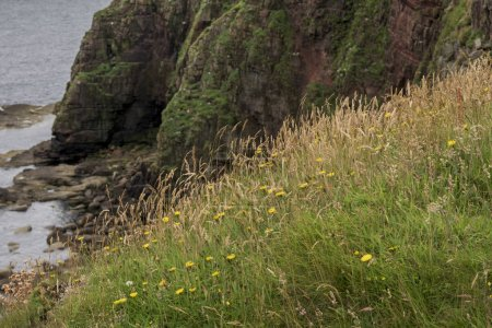 Wildflowers and grass growing at coast, Duncansby Head, John O' Groats, Caithness, Scottish Highlands, Scotland