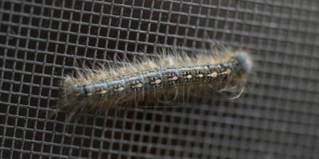 Photo pour Gros plan de la chenille sur le gril, lac des Bois, Ontario, Canadaz - image libre de droit