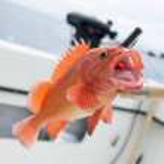 Yelloweye rockfish, Skeena-Queen Charlotte Regiona...
