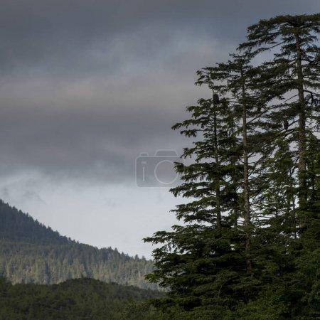 View of Evergreen trees with mountains, Skeena-Queen Charlotte Regional District, Haida Gwaii, Graham Island, British Columbia, Canada