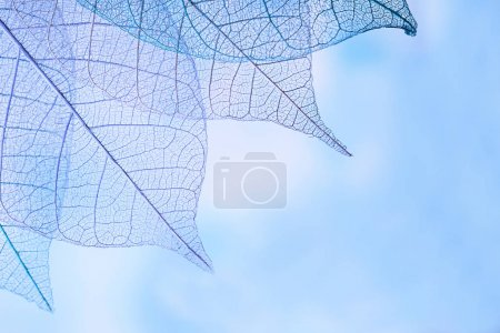 Photo for Group of skeleton leaves on blured background, close up - Royalty Free Image