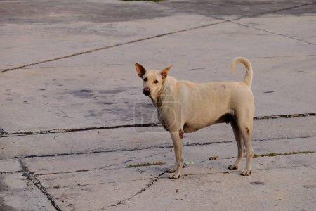 Photo pour Chien sans abri marchant en ville - image libre de droit