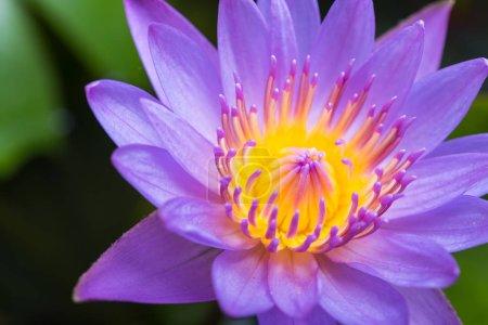 Photo pour Image de nénuphar ou une fleur de lotus sur l'eau de la nature - image libre de droit