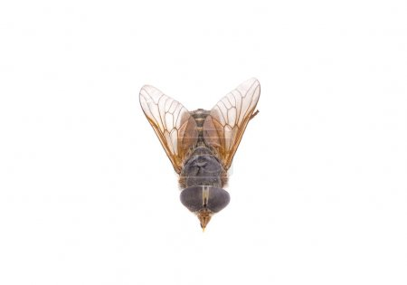 Insect gadfly on white background