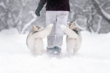 Photo for Two siberian husky dogs walking outdoors in winter - Royalty Free Image