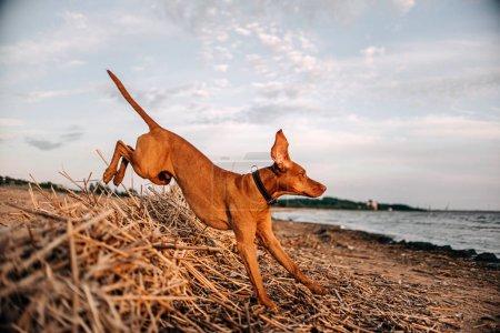 Photo pour Heureux chien vizsla sautant sur une plage en été - image libre de droit