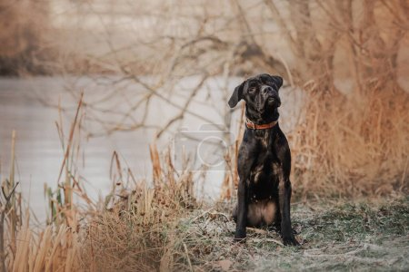 Photo for Young cane corso dog in a collar sitting outdoors - Royalty Free Image