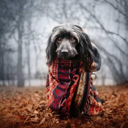 Photo pour Chien de race mixte gris enveloppé dans une écharpe à l'extérieur en automne - image libre de droit