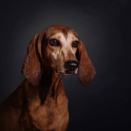Photo pour Vieux portrait de chien de race mixte sur fond gris - image libre de droit