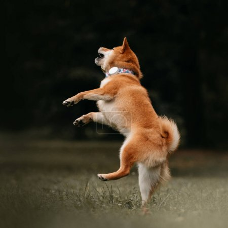 Photo for Happy shiba inu dog jumping outdoors in a tracking collar - Royalty Free Image
