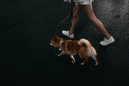 Photo for Owner walking a shiba inu dog on a leash on sidewalk, top view - Royalty Free Image