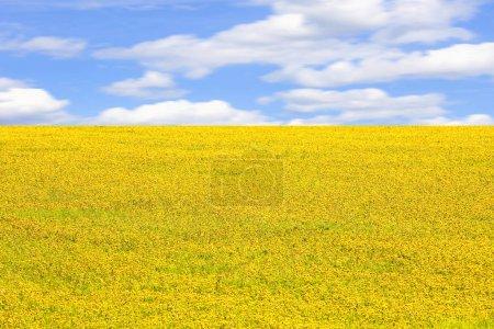Foto de Interminable campo de diente de león flor en primavera - Imagen libre de derechos