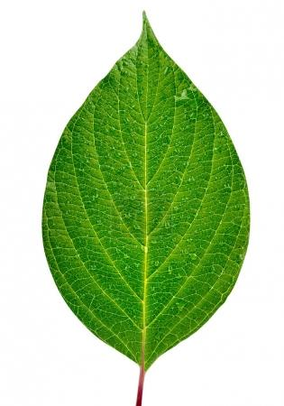 Photo for Green leaf isolated on white background Clipping Path - Royalty Free Image