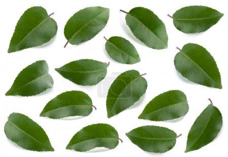 Photo pour Collection de feuilles vertes isolées sur fond blanc - image libre de droit