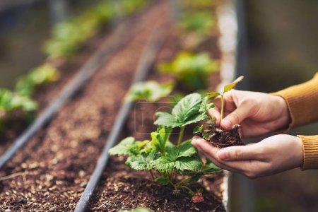farmer hands planting strawberry