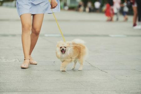 Photo for Fluffy Pomeranian spitz walking outdoor with his female owner - Royalty Free Image