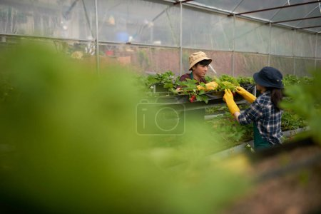 Young Asian greenhouse workers pulling out weeds