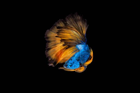 Photo for Colourful Betta fish,Siamese fighting fish in movement on black background - Royalty Free Image
