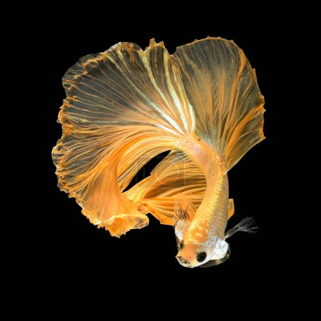 Photo for Close up art movement of Betta fish,Siamese fighting fish isolated on black background.Fine art design concept. - Royalty Free Image