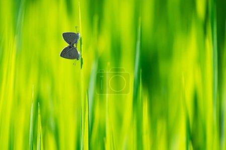 Photo pour Papillon naturel avec un beau fond de couleur, Deux Petites herbes Bleu Papillon s'accouplant sur des feuilles de riz. - image libre de droit