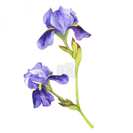 Big violet fleur de lis flower isolated on white background. Hand drawn watercolor illustration.