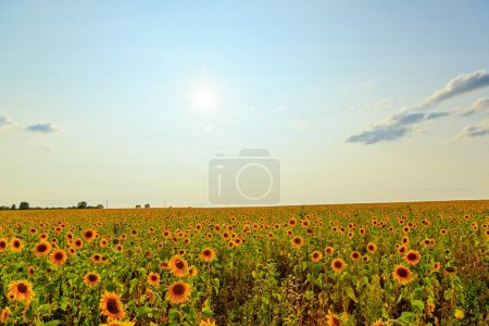 Field of sunflowers in sunny weather. HDR, Backligh