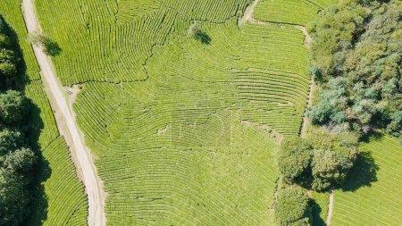 Flight over tea plantation. Krasnodar, Sochi, Russia