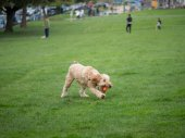 Goldendoodle grabs ball while playing fetch