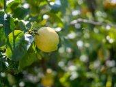 Ripe lemon hanging off of tree ready for harvest