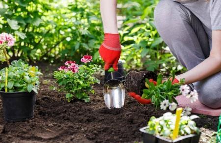 Photo pour Mains de jardiniers planter des fleurs dans le jardin, gros plan photo. - image libre de droit