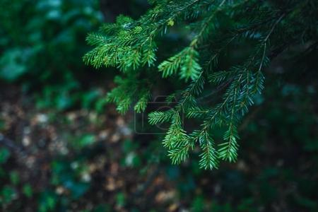 Close up photo of evergreen plant in mountain forest.