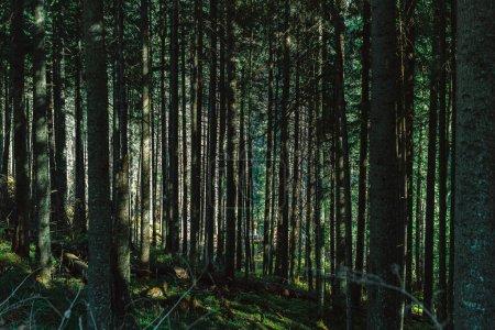 Dark green forest with sunlight