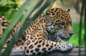 A Jaguar in the Amazon rain forest. Iquitos, Peru