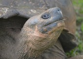Galapagos Giant Tortoise at the El Chato / Los Primativos ranch