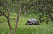 Galapagos Giant Tortoise at the El Chato / Los Primativos ranch. Santa Cruz, Galapagos Islands, Ecuador