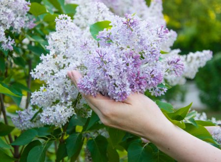Photo for A woman's hand touches lilac flowers - Royalty Free Image
