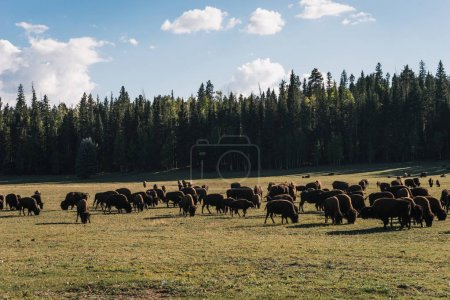 view of wild bulls on green meadow near forest with blue sky