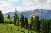 spruce forest on a grassy hill in mountains